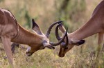 impalas-lock-horns